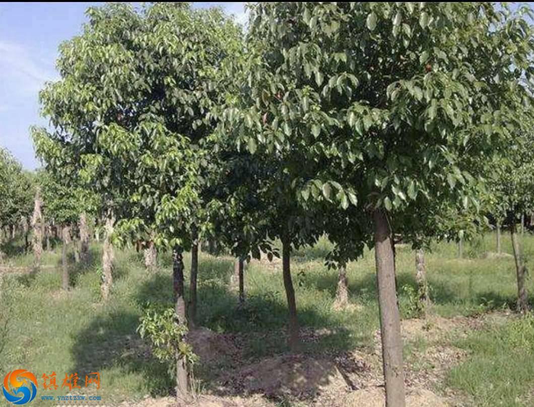 镇雄香樟绿化树出售